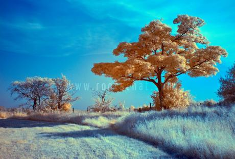 orange_tree_infrared_tiny.bh6m9k3f6b4skwwkws04w4sos.6ylu316ao144c8c4woosog48w.th